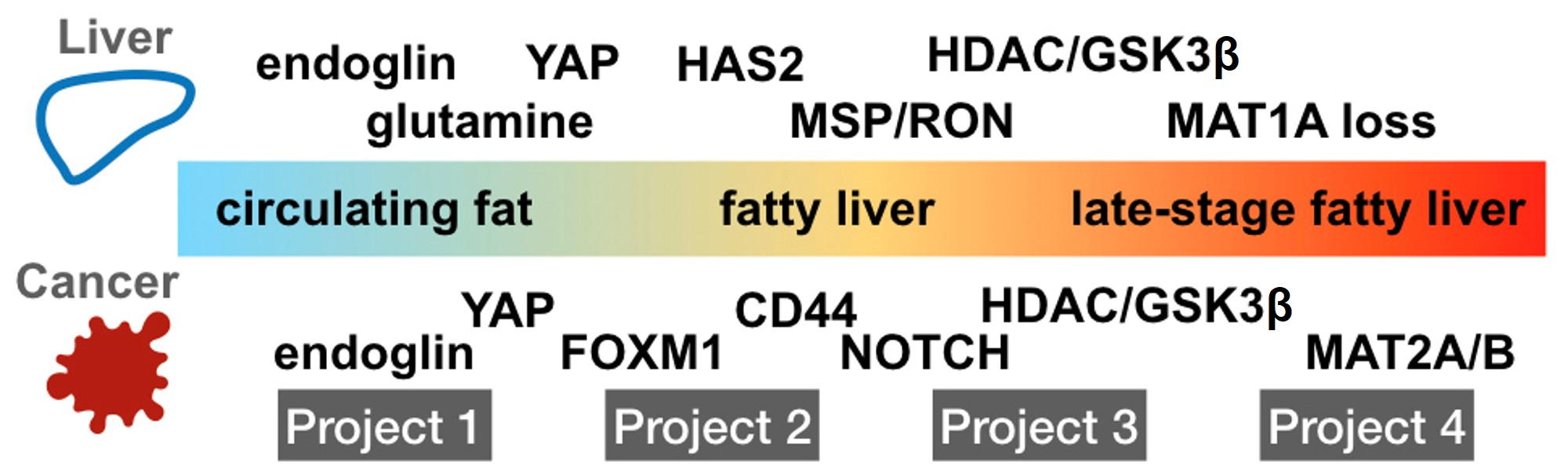 Illustration shows the four projects that examines different aspects of liver disease, but study overlapping signaling pathways common to the support or metastatic